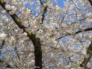 Cerisier japonais 2